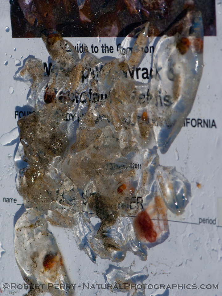 A mixture of salps, the larger <em>Salpa fusiformis</em> with red gut sacs, and the smaller, clear <em>Iasis zonaria</em>.