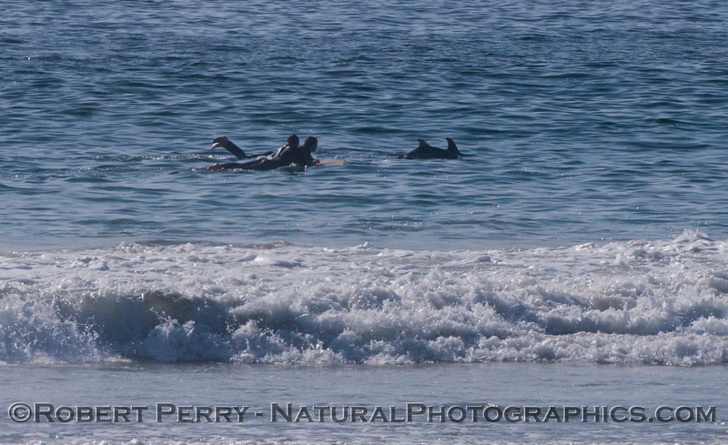 Tursiops cow & calf and surfer 2012 02-02 Zuma-014
