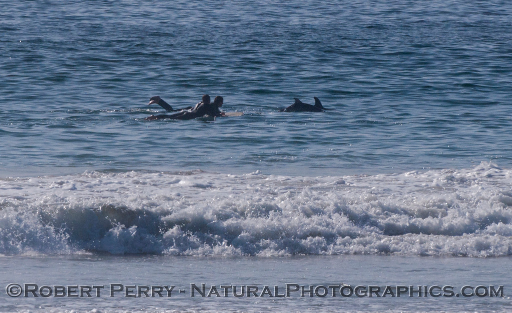 Tursiops cow & calf and surfer 2012 02-02 Zuma-014