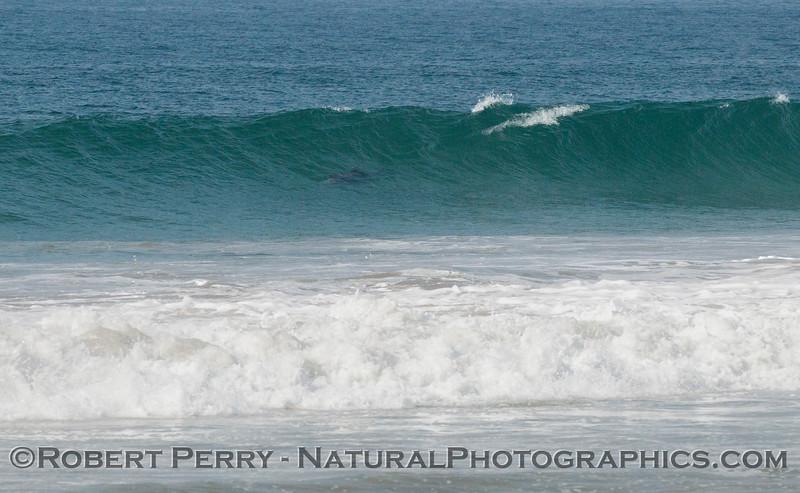 Tursiops surfing 2012 02-02 Zuma-002