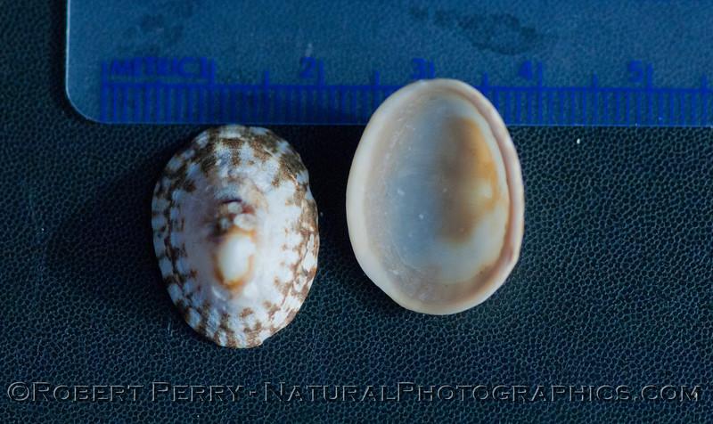 Lottia pelta shells 2012 02-02 Zuma-a-006