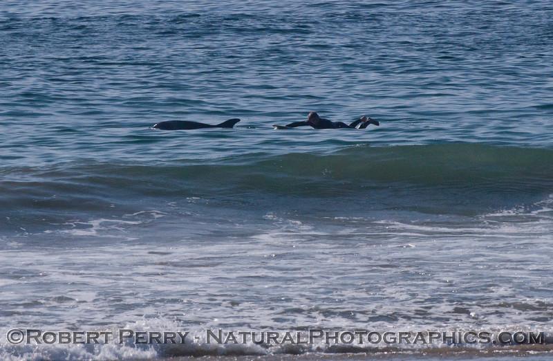 Tursiops and surfer 2012 02-02 Zuma-002