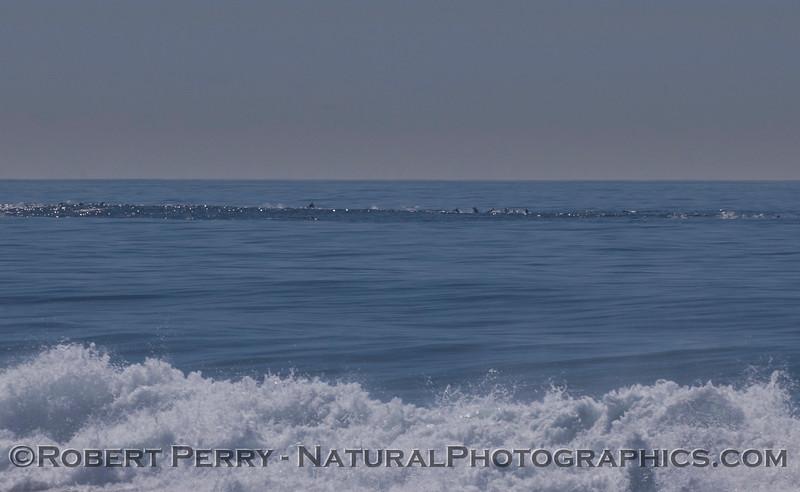 Delphinus capensis line offshore 2012 02-09 Zuma-461