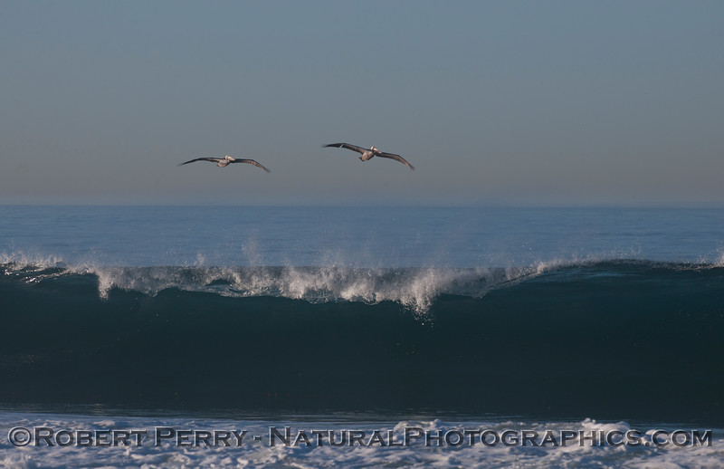Pelecanus occidentalis & wave 2012 02-09 Zuma-222