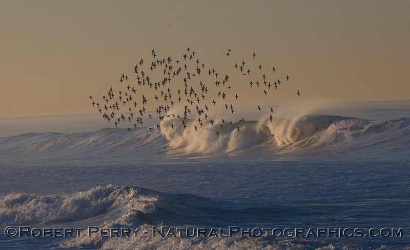 A flock of Sanderlings (<em>Calidris alba</em>) rides the waves at dawn.