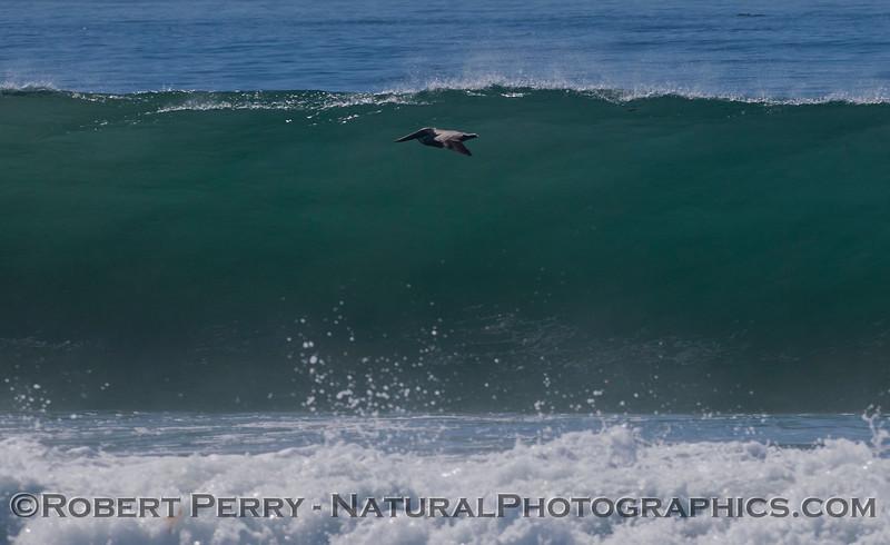 Pelecanus occidentalis and wave 2012 02-09 Zuma-476