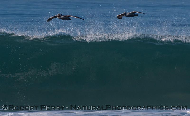 Pelecanus occidentalis & wave 2012 02-09 Zuma-270
