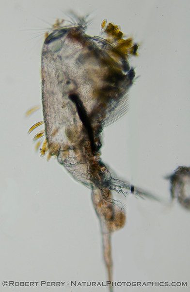 copepod & parasitic diatoms 2012-02-16 Zuma-071