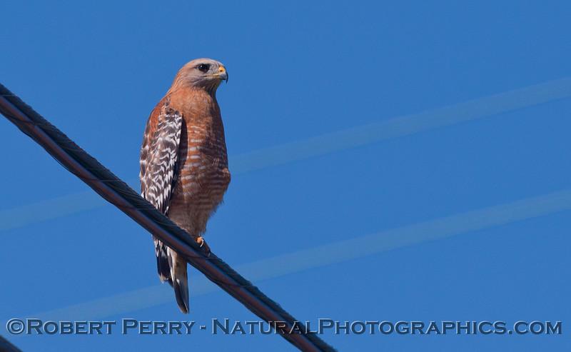 Buteo lineatus red shouldered hawk 2012-02-23 Zuma-202