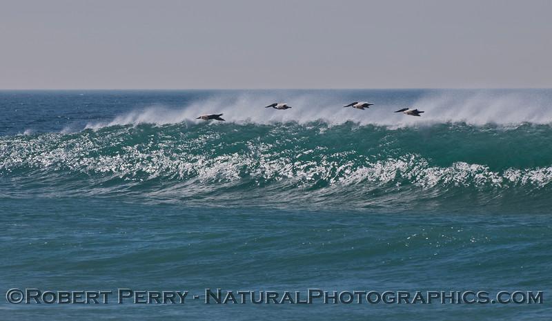 Pelecanus and wave 2012-02-23 Zuma-085
