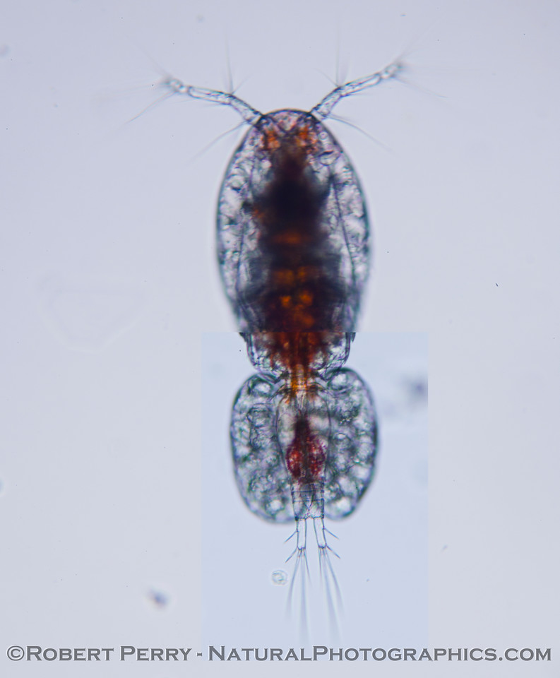 cyclopoid copepod with eggs 2012 03-08 Zuma-018