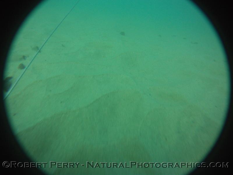Zone 2 Dendraster beds2012-03-08-0022
