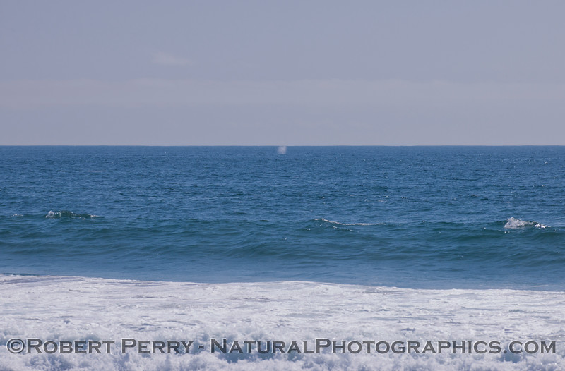 Pacific Gray Whale (<em>Eschrichtius robustus</em>) spouting.  One of four observed in a 45 minute period.