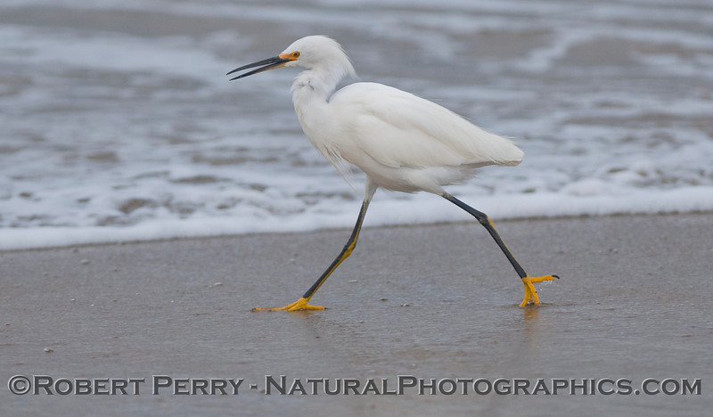 A hungry snowy egret (<em>Egretta thula</em>) hunts for juvenile sand crabs (<em>Emerita analoga</em>) along the tide line.  This is a rare occurrence at Zuma Beach, but the young sand crabs are so abundant even the crows were digging them up.