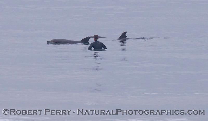 Bottlenose dolphins (<em>Tursiops truncatus</em>) slowly travel past a surfer...watching and learning.