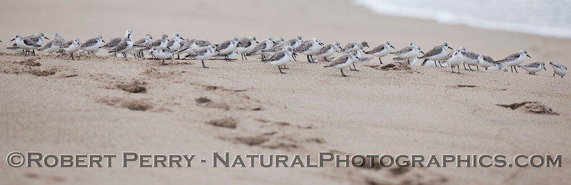 Panorama - Sanderlings (<em>Calidris alba</em>) take a moment to rest on the dry sand.