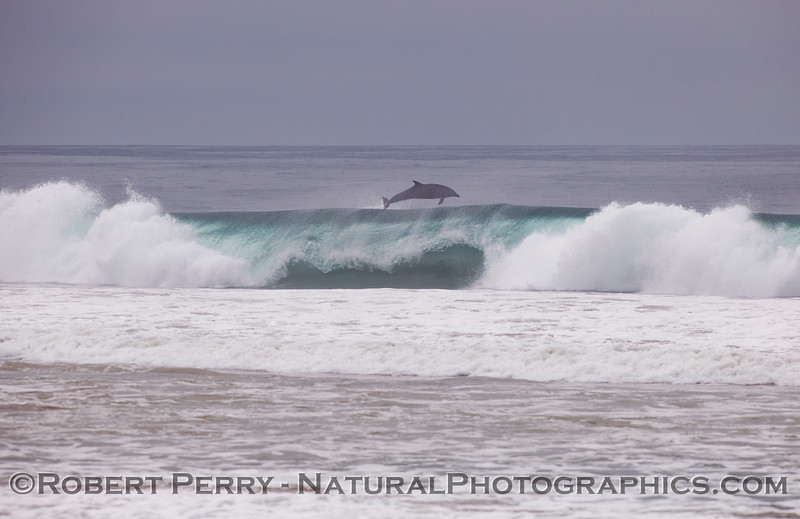 "An adult bottlenose dolphin (<em>Tursiops truncatus</em>) ""kicks out"" the back of a nice wave it had been riding."