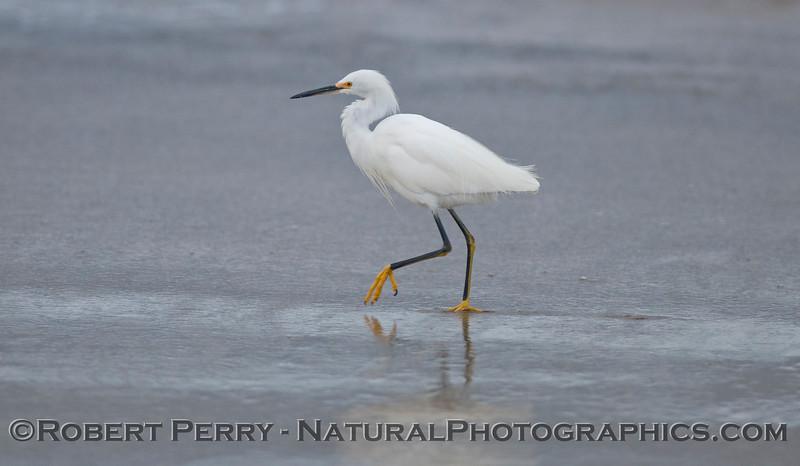 Snowy egret (<em>Egretta thula</em>).