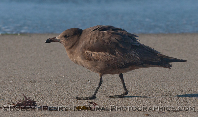 A young Heermann's Gull (<em>Larus heermanni</em>) assuming a submissive  posture.