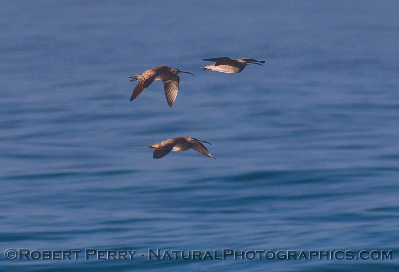 Three Whimbrels (<em>Numenius phaeopus</em>) in flight.