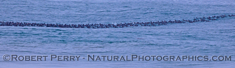 A panorama picture of a massive flock of Surf Scoters (<em>Melanitta perspicillata</em>) in the waves at Zuma Beach