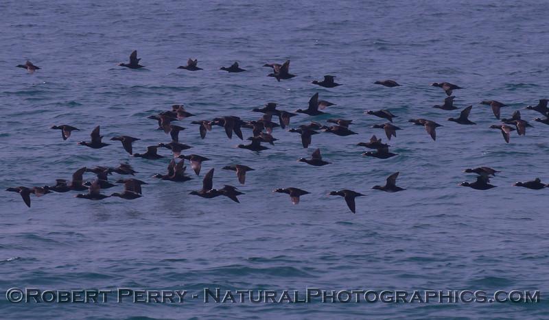 Melanitta perspicillata flock in flight 2012 03-22 Zuma-009