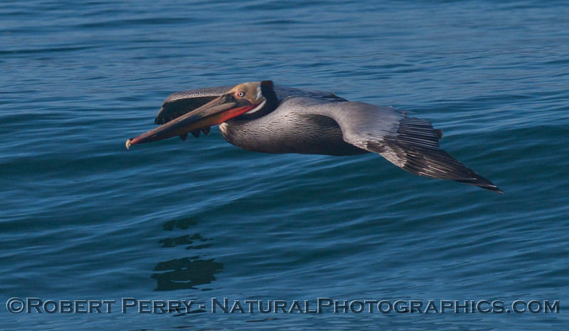 Pelecanus occidentalis in flight 2012 03-22 Zuma-001