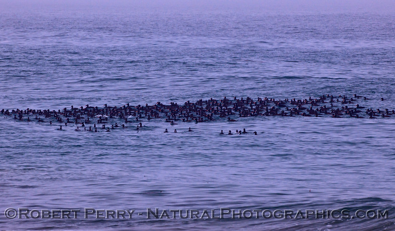 A portion of a massive flock of Surf Scoters (<em>Melanitta perspicillata</em>) in the waves at Zuma Beach.  We estimated approximately 1,000 individuals in the flock, some are diving, some are up for air.