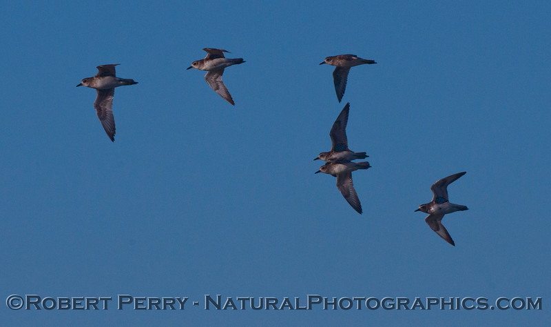 Part of a flock of Black-bellied Plovers (<em>Pluvialis squatarola</em>) in flight.