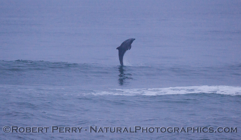 Tursiops truncatus leap 2012 03-29 Zuma-003