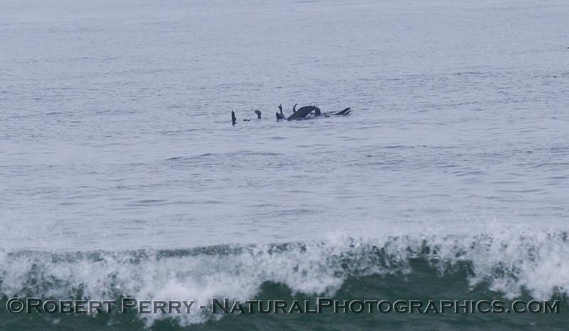 Zalophus californianus rafting 2012 04-19 Zuma-066