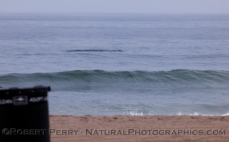 Eschrichtius robustus in surf 2012 04-19 Zuma-075
