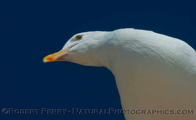 Larus occidentalis looking up CLOSE 2012 09-13 Zuma-108