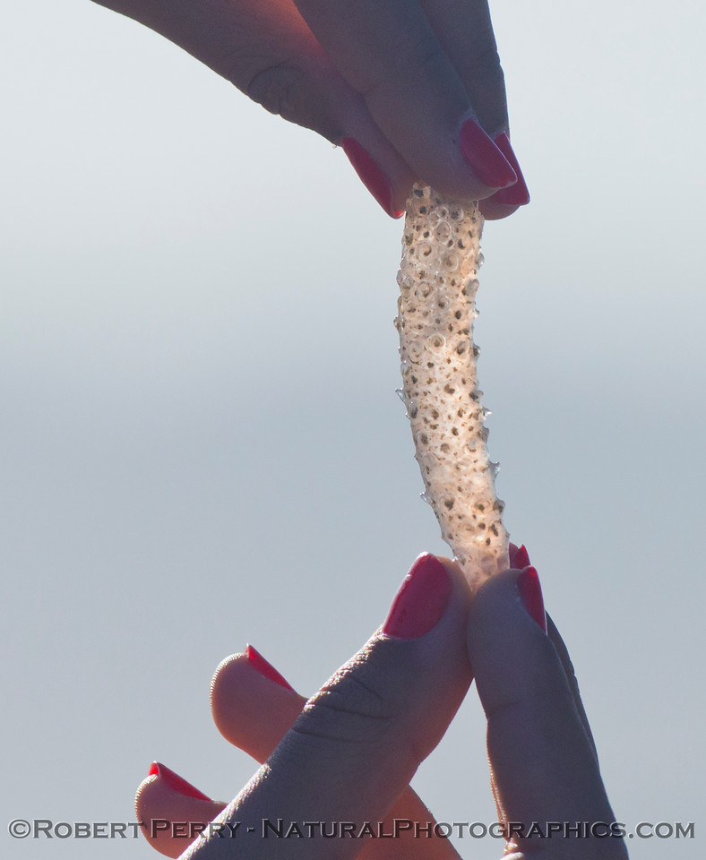 Image 2 of 2:  a salp (<em>Pyrosoma atlanticum</em>) washed up on the beach.