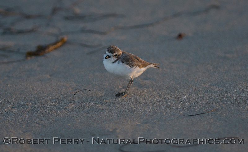 A snowy plover (<em>Charandrius alexandrinus</em>) poses for a photo.
