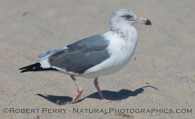 A young ring-billed gull (<em>Larus delawarensis</em>).