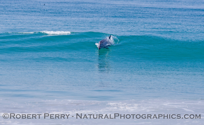Tursiops truncatus surfing 2012 09-27 Zuma-110
