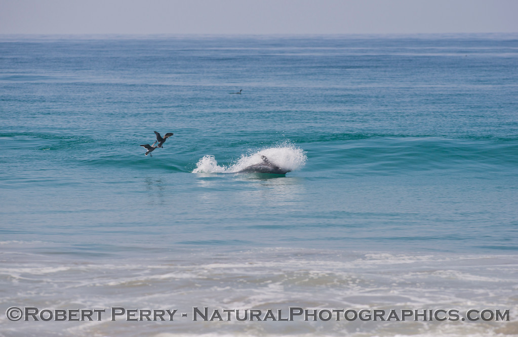Tursiops truncatus upside down feeding in surf zone 2 WIDE 012 09-27 Zuma-133