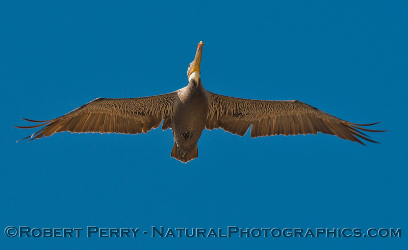 Pelecanus occidentalis in flight 2012 09-27 Zuma-056