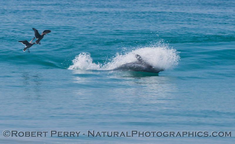 Tursiops truncatus upside down feeding in surf zone 2012 09-27 Zuma-133