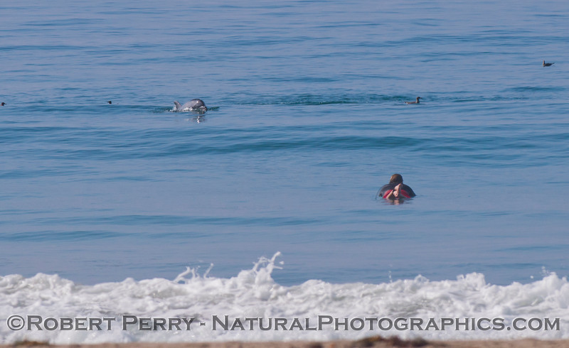 Tursiops truncatus & surfer 2012 09-27 Zuma-076