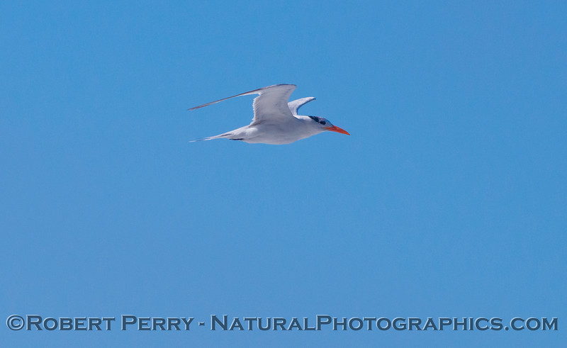 A royal tern (<em>Sterna maxima</em>) in flight.