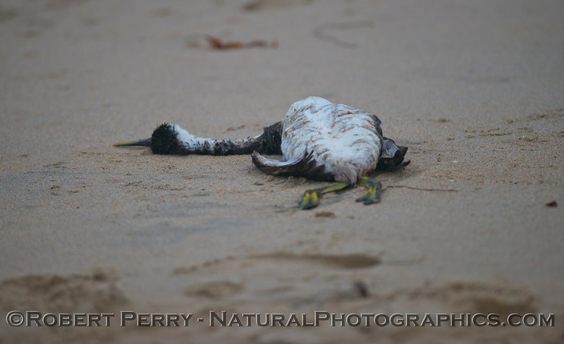 A deceased western grebe (<em>Aechmophorus occidentalis</em>).