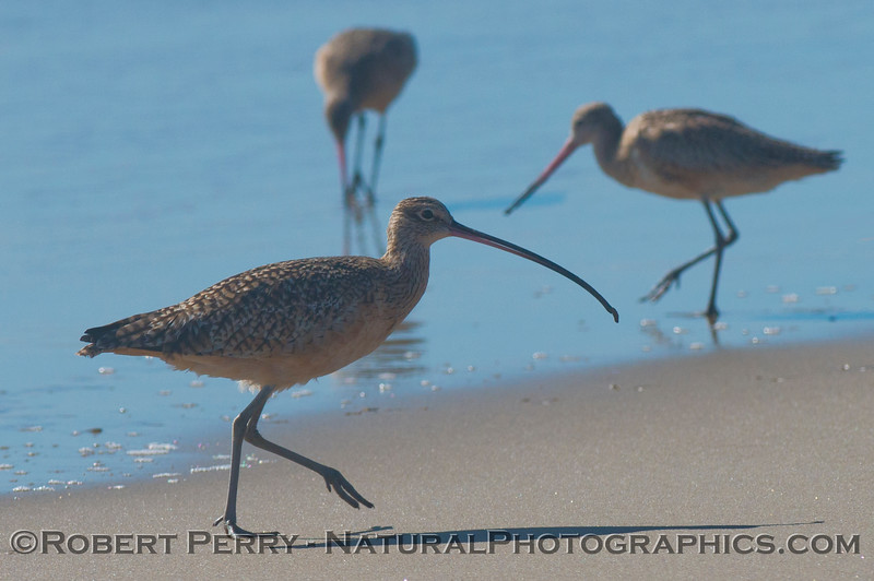 A whimbrel (<em>Numenius phaeopus</em>) in front of two marbled godwits (<em>Limosa fedoa</em>).