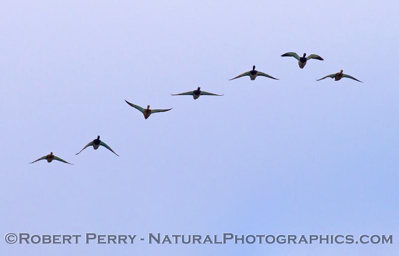 A flock of mallard ducks (<em>Anas platyrhynchos</em>) take a short cut across Zuma Beach on their way to a fresh water area.