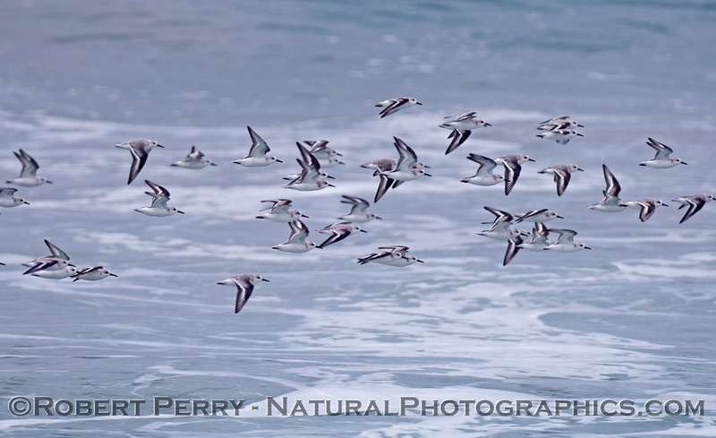 A flock of sanderlings (<em>Calidris alba</em>) flys across the waves.