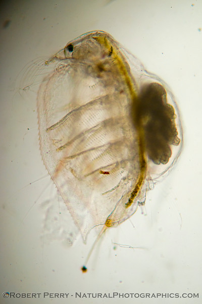 Image 1 of 2:  Side view of a gravid <em>Penilia avirostris</em>.