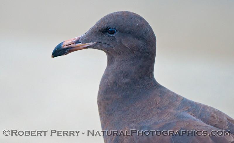 A young Heermann's gull (<em>Larus heermanni<em>).