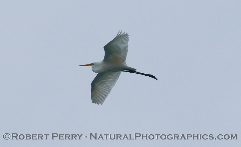 The great (white) egret (<em>Ardea alba</em>) in flight, up high, above Zuma Beach.