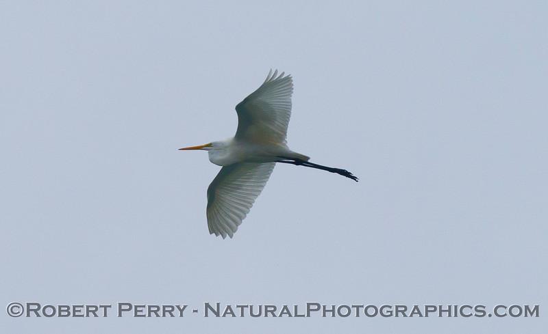 The great (white) egret (<em>Ardea alba</em>) in flight, up high, above Zuma Beach.